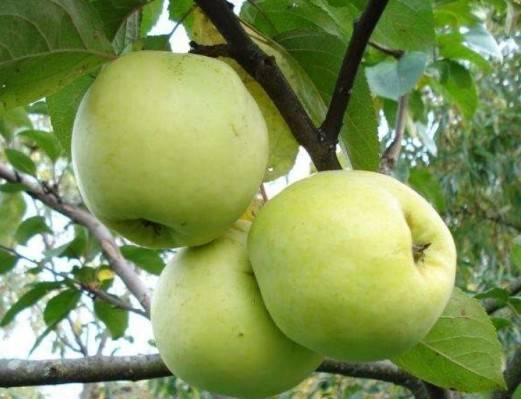 Рекордсмен по урожайности — яблоня сорта «антоновка обыкновенная»