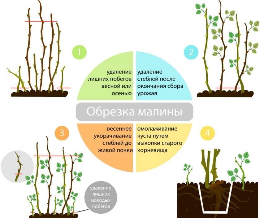 Малина ремонтантная августовское чудо: характеристика, особенности выращивания