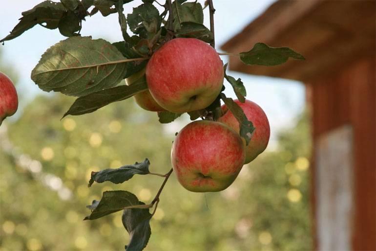 Сорт яблони орловское полосатое и его собратья — скорые, вкусные, товарные!