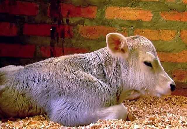 Особенности дерматита у коровы