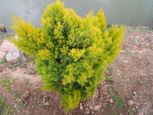 Рейнголд: туя западная, посадка и уход, выращивание и размножение