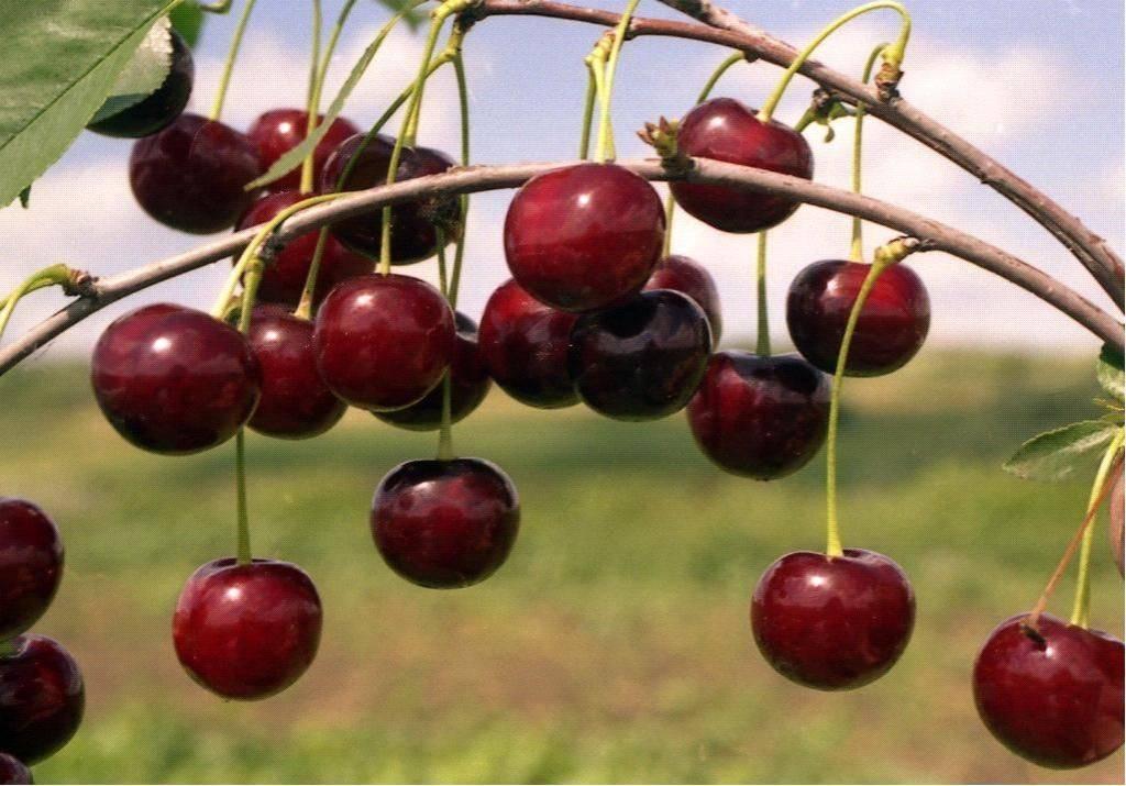 Вишня харитоновская: описание сорта и фото, выращивание, болезни, вредители, опылители