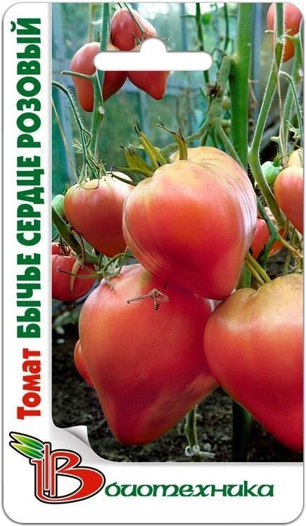 Томат «бычье сердце»: описание сорта, как выращивать рассаду, пересадка в теплицу