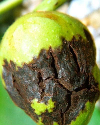 Болезни грецкого ореха и вредители фото лечение дерева