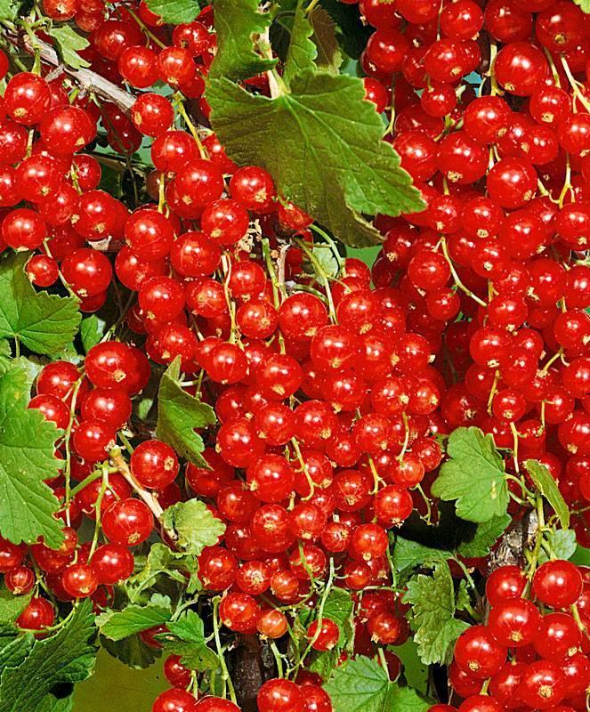 Красная смородина мармеладница описание сорта фото отзывы