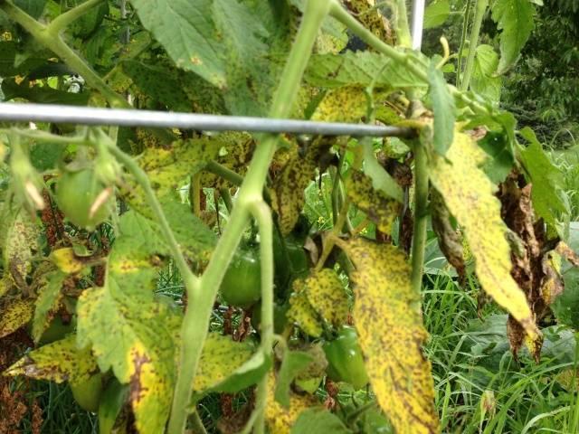 Почему желтеют листья на помидорах: причины появления и меры профилактики