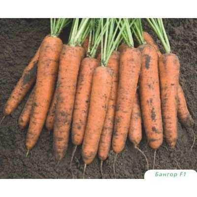 Морковь каскад f1: описание сорта, фото, отзывы