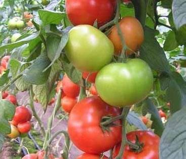 Очень вкусные и урожайные помидоры из кавказа — томат перси f1: полное описание сорта