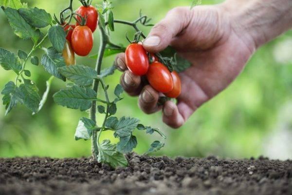Обзор сортов томатов, не требующих пасынкования
