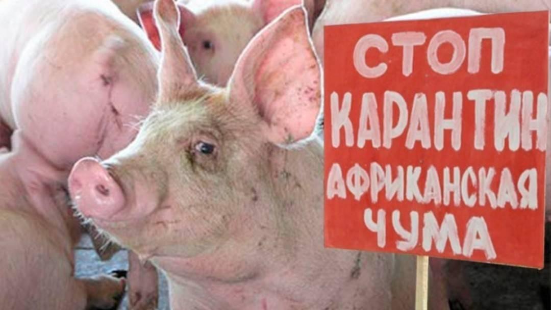 О признаках африканской чумы у свиней: описание симптомов, как передается