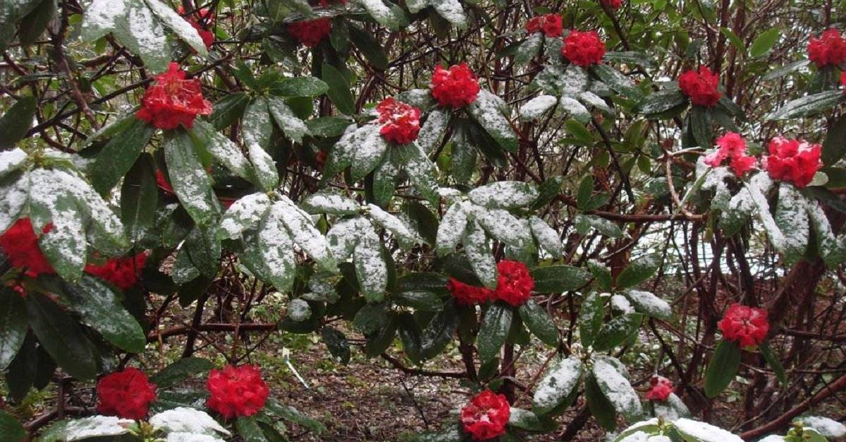 Азалия (рододендрон) Голден Лайтс: описание, морозостойкость, отзывы