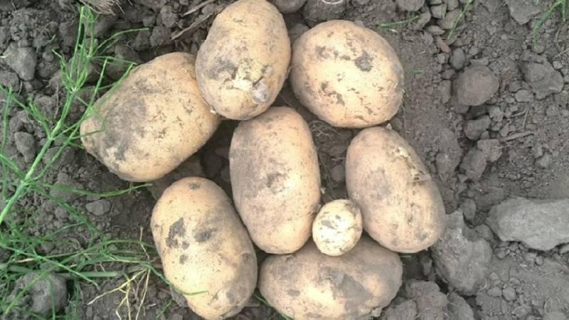 Картофель бородянка — описание сорта, фото, отзывы, посадка и уход