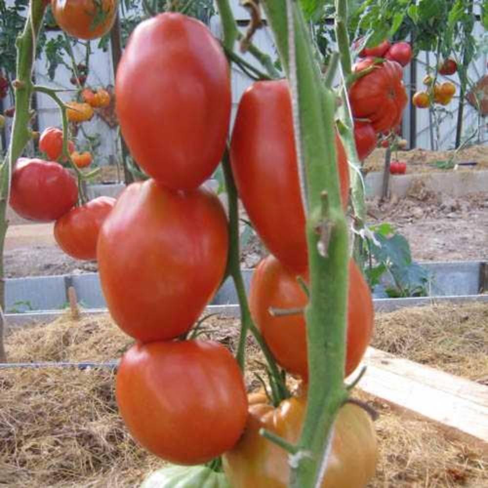Характеристика и описание сорта томата богата хата, его урожайность
