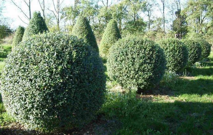 Бирючина, или волчья ягодка, – находка для садово-паркового дизайна