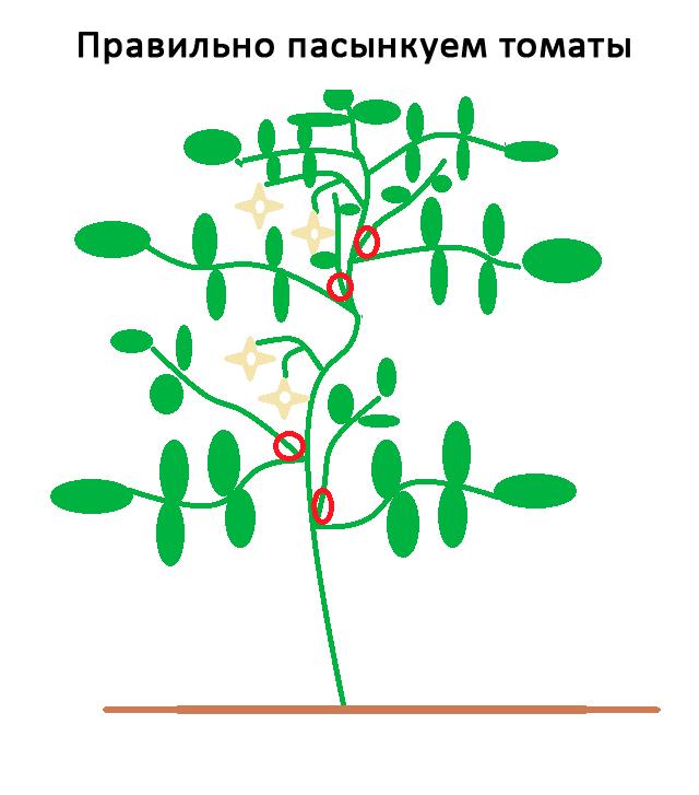 Томат чио-чио сан: характеристика и описание гибридного сорта, урожайность с фото