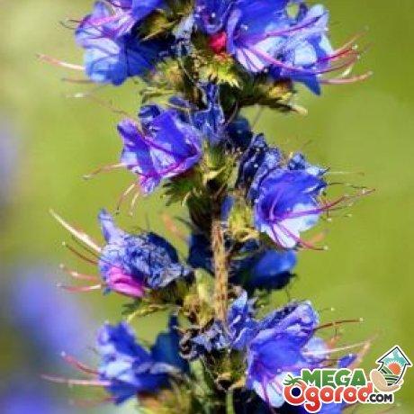 Синяк обыкновенный (растение, медонос) – полезные свойства