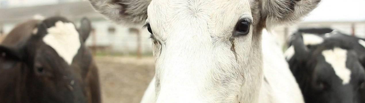 Что делать, если отравилась корова