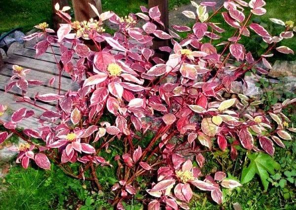 Виды и сорта дерена (39 фото): описание канадского дерена и сортов «коуза» и «шпета», «кессельринги» и «ауреа», отпрыскового растения flaviramea и других