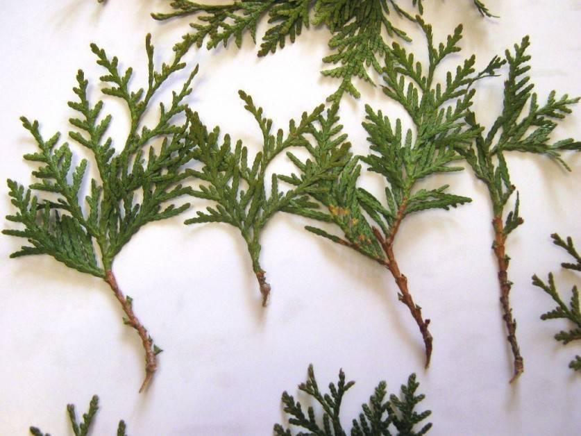 Выращивание горной сосны из черенков и семян