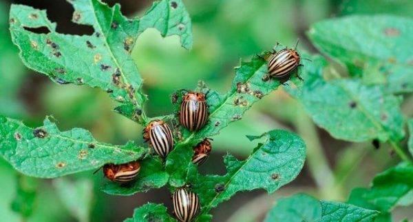 Инструкция по применению препарата корадо от колорадского жука