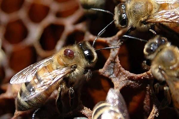 Применение муравьинки для пчел