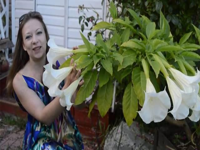 Бругмансия: посадка и уход в домашних условиях, подкормка, размножение