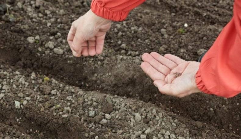 Сроки посадки моркови в 2020 году весной и под зиму по регионам с учетом луны