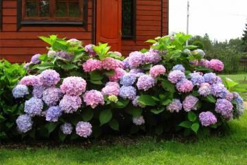 Гортензия метельчатая: как правильно посадить и ухаживать