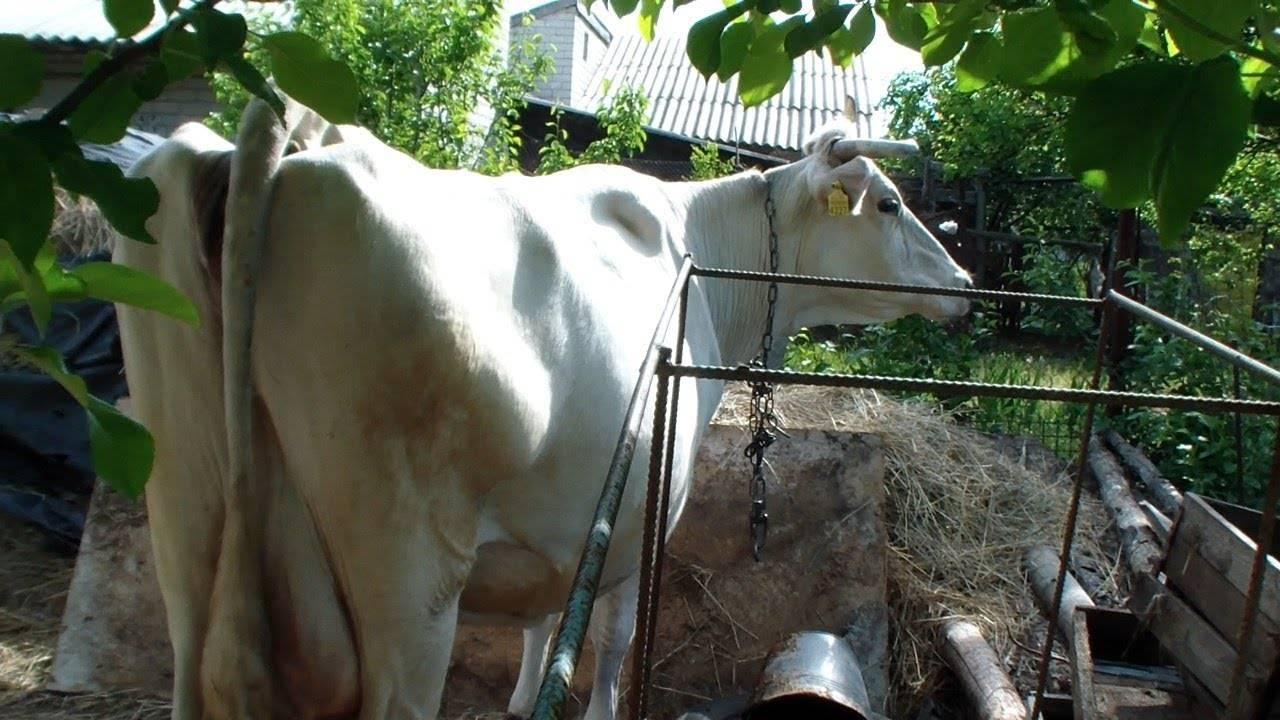 Беременность у коров: как определить, сколько длится и как протекает?