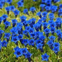 Горечавка посадка и уход в открытом грунте выращивание из семян размножение фото цветов