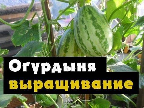 Выращивание огурдыни