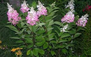 Гортензия метельчатая бомбшелл hydrangea paniculata «bombshell»