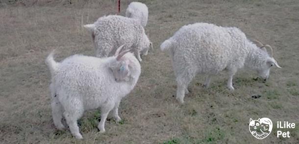 Альпийские козы: описание породы и характеристика