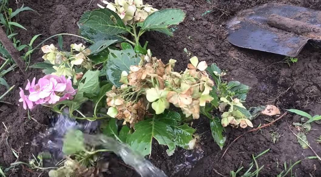 Грамотная подкормка гортензии для роскошного цветения