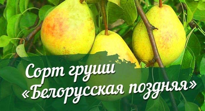 Описание сорта белорусская поздняя груша: фото