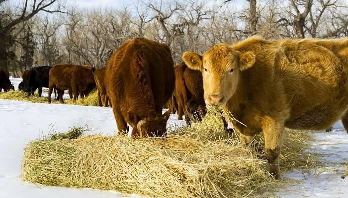 Сколько сена нужно корове: в сутки, на голову, на год