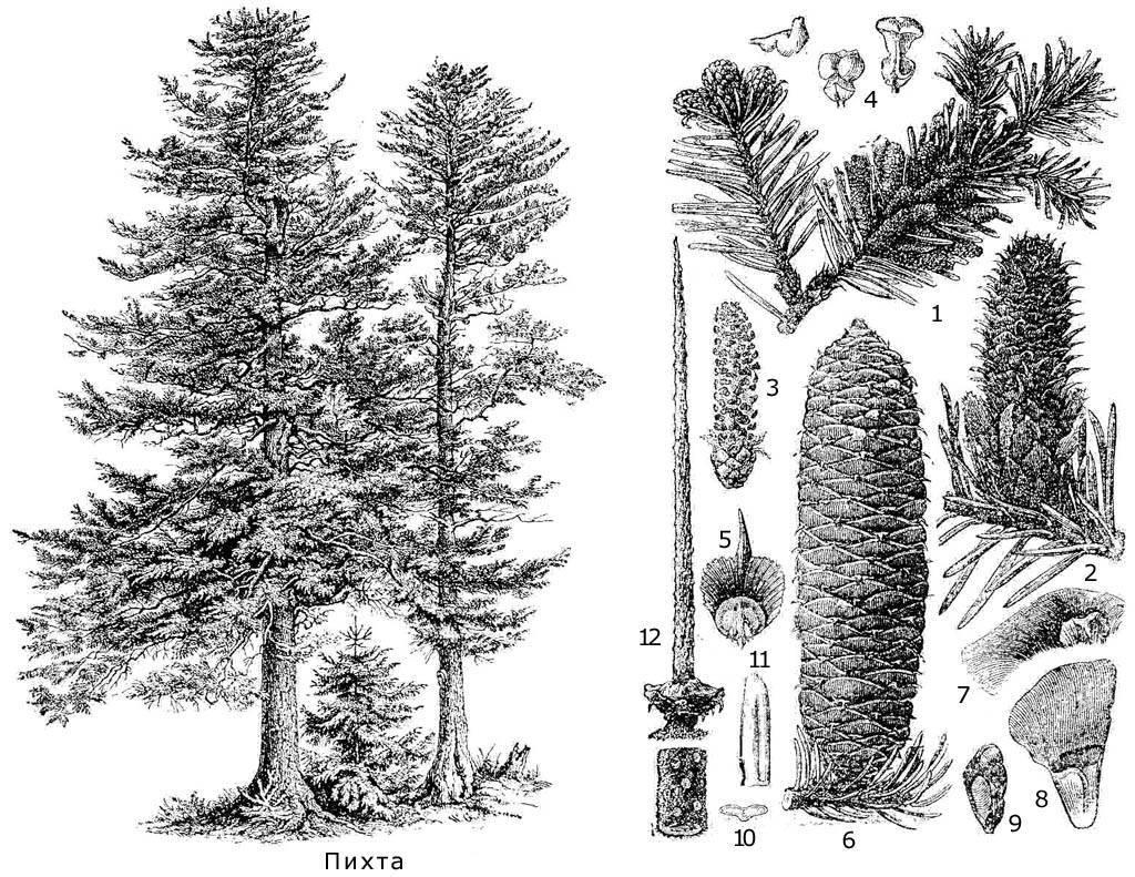 Виды и сорта пихты (57 фото): пихта обыкновенная и вича, белокорая и канадская, северная и другие разновидности