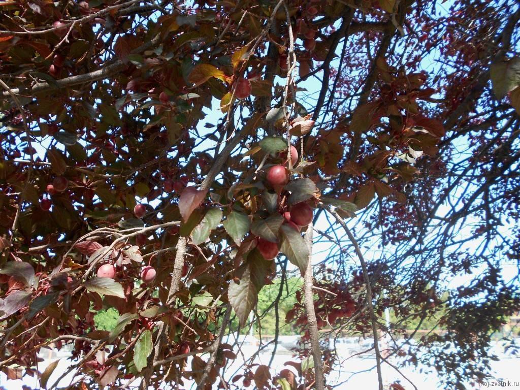 Особенности выращивания растопыренной сливы и ухода за ней