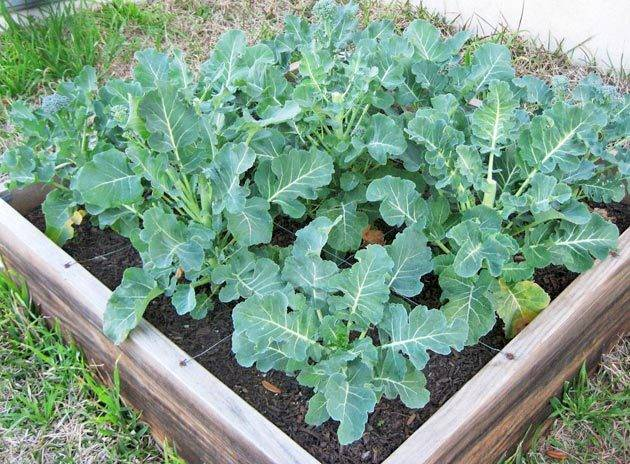 Узнайте за 5 минут: как вырастить брокколи на огороде