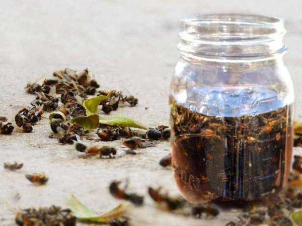 Применение настойки пчелиного подмора для лечения. правила заготовки мертвых пчел