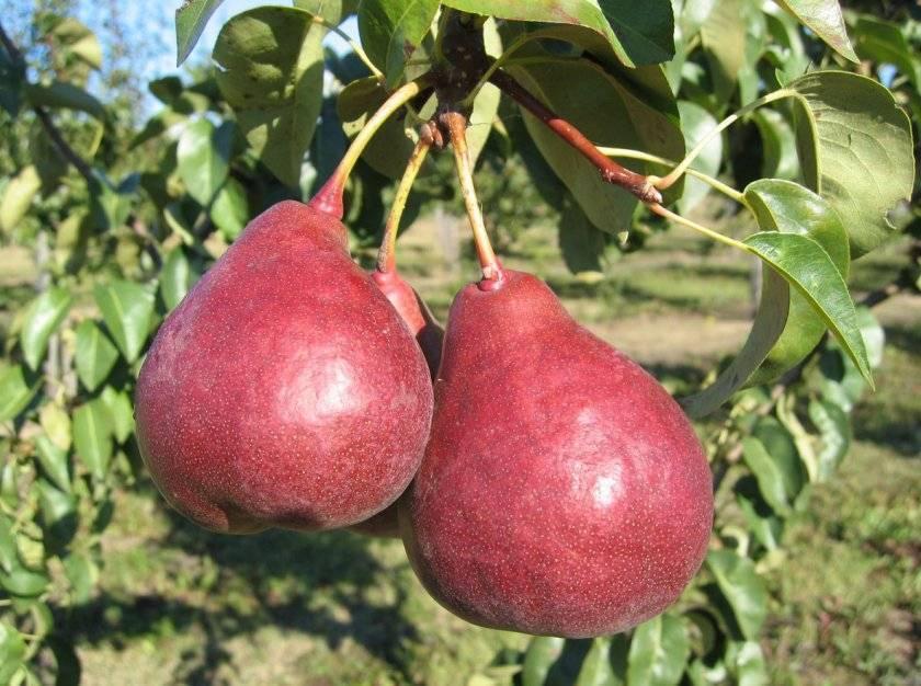 Груша красная — описание сорта, фото, отзывы садоводов