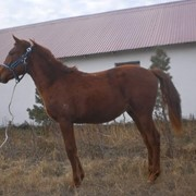 Аборигенные лошадки: надежные помощники в суровых регионах