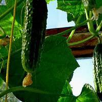 Сорт огурцов шоша f1: описание и выращивание сорта