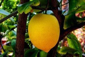 Лимон это ягода или фрукт — ягоды грибы
