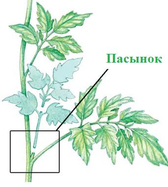 Почему листья у помидор скручиваются вверх лодочкой?
