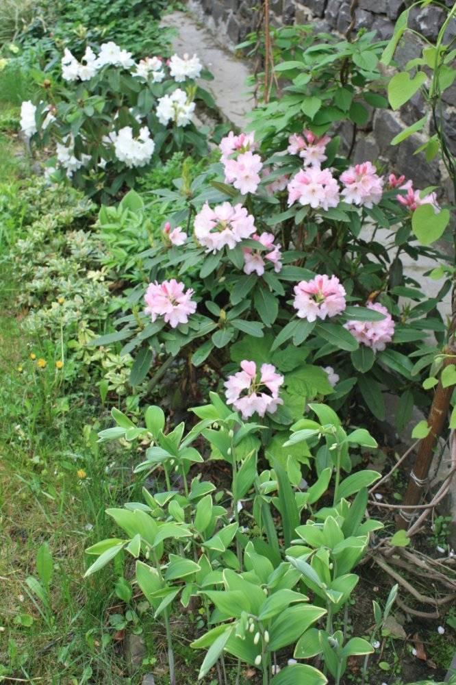 Листопадный рододендрон: описание и отличия от других видов. уход за растением
