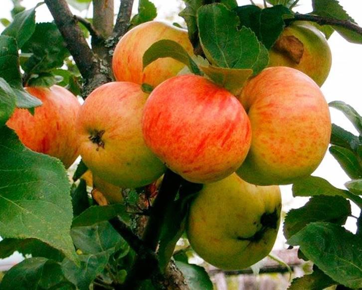 Канадская яблоня мантет