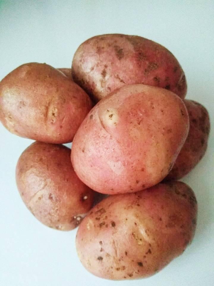 Сорт картофеля ред скарлет: описание, посадка и уход