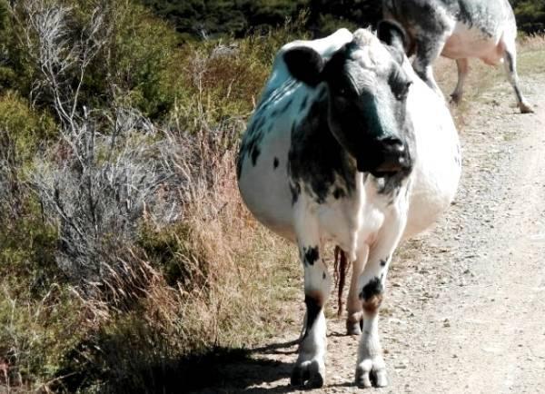 Беременные коровы: сколько месяцев длится беременность? как в домашних условиях определить по молоку, что корова ходит стельная? признаки стельности