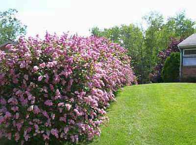 Плетеная, цветущая, многоуровневая, фигурная или даже вечнозеленая… что это? живая изгородь